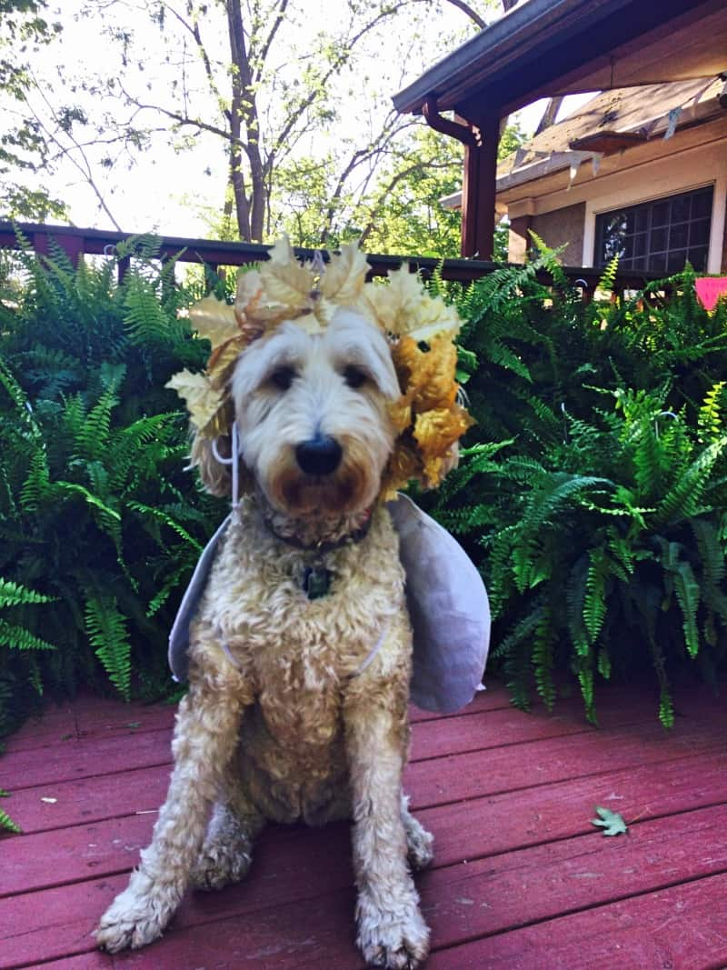 willow dog dressed as a fairy